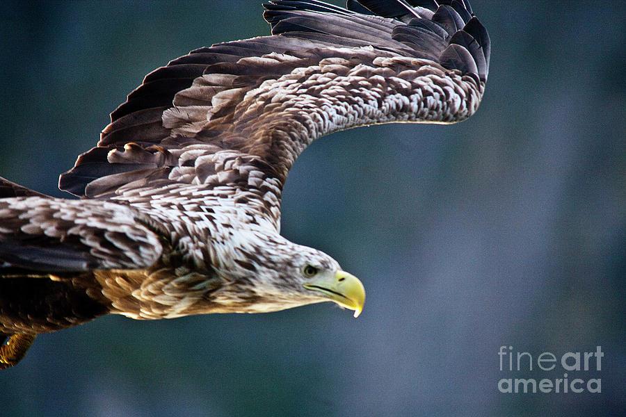 White_tailed Eagle Photograph - European Sea Eagle by Heiko Koehrer-Wagner