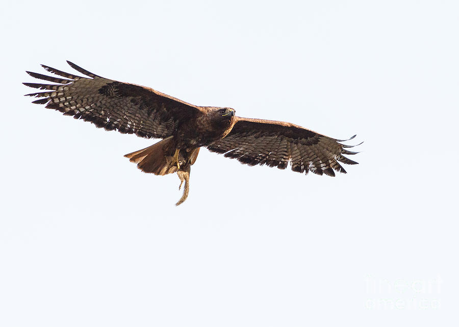 Female Red-tailed Hawk In Flight Photograph
