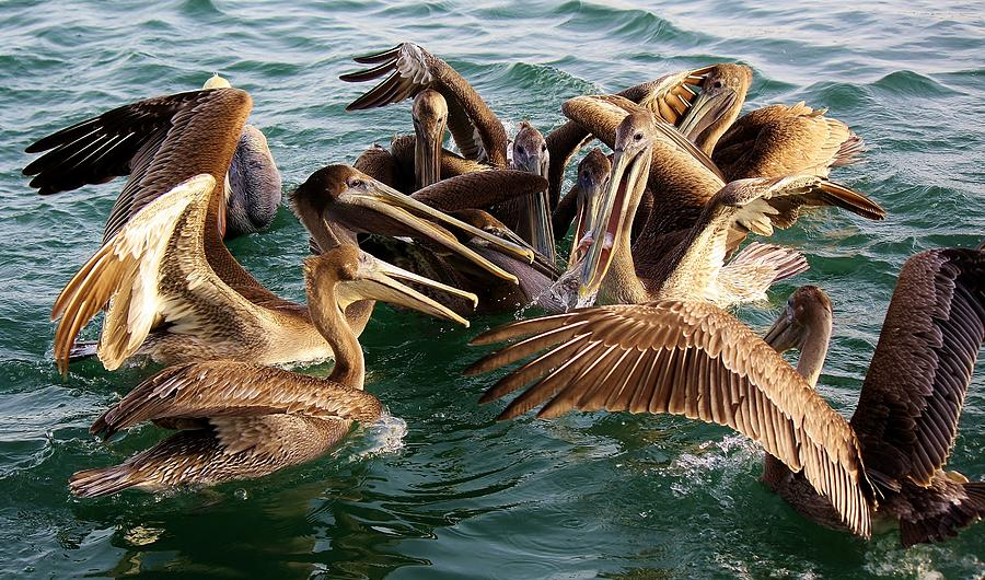 Pelican Photograph - Fish Fight by Paulette Thomas