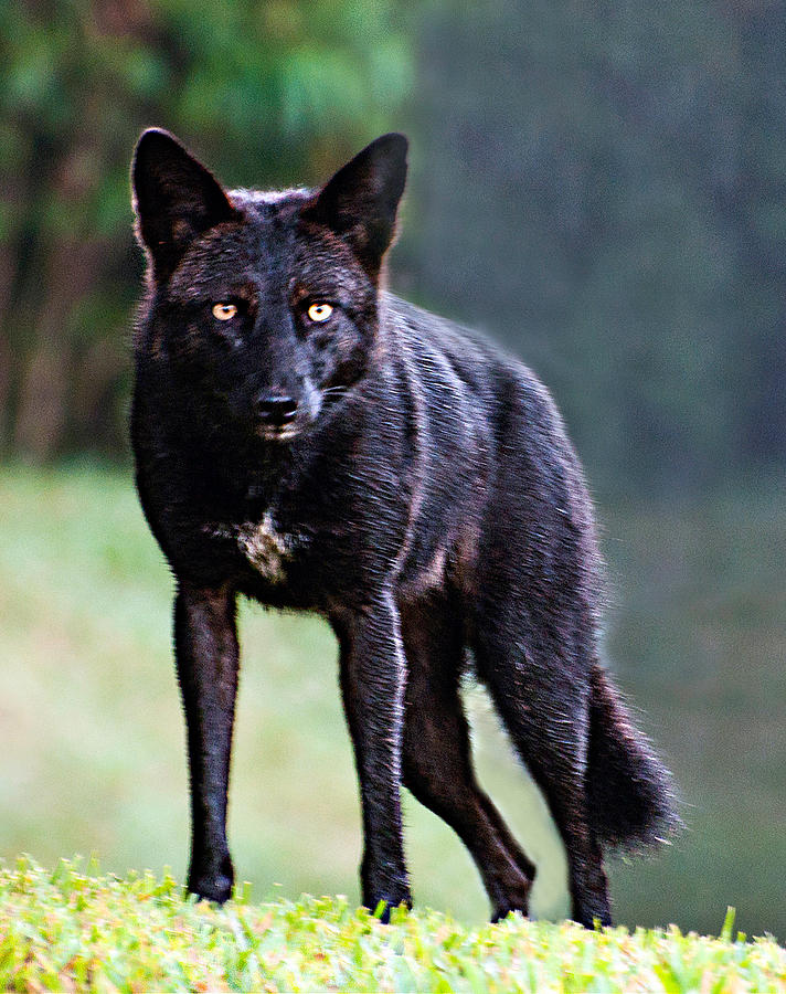Florida Black Coyote Photograph: fineartamerica.com/featured/1-florida-black-coyote-donna-proctor.html
