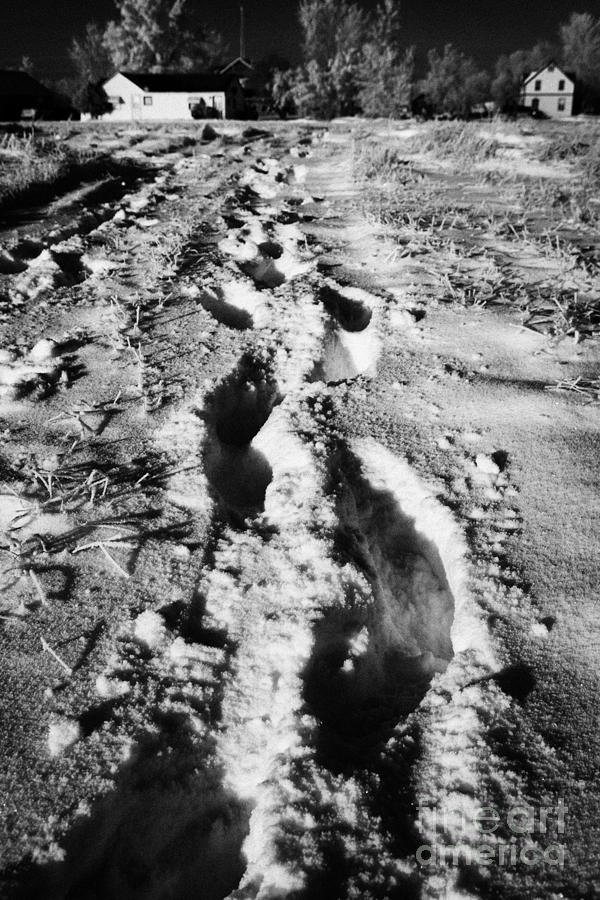 fresh footprints crossing deep snow in field towards small rural village of Forget Saskatchewan Cana Photograph