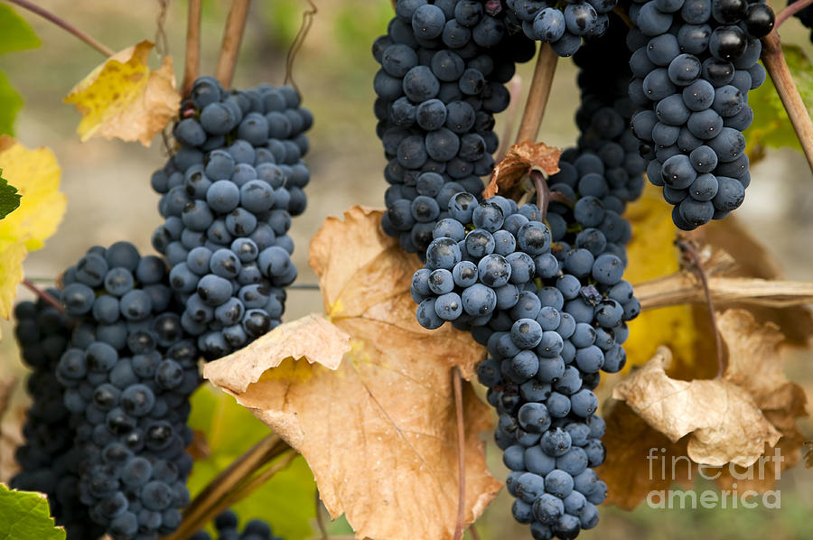Agriculture Photograph - Gamay Noir Grapes by Kevin Miller