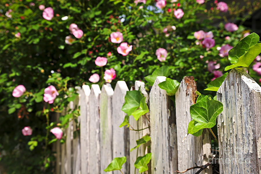 Garden Fence With Roses Photograph  - Garden Fence With Roses Fine Art Print