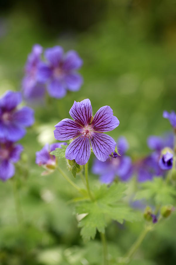 Geranium Himalayense Photograph