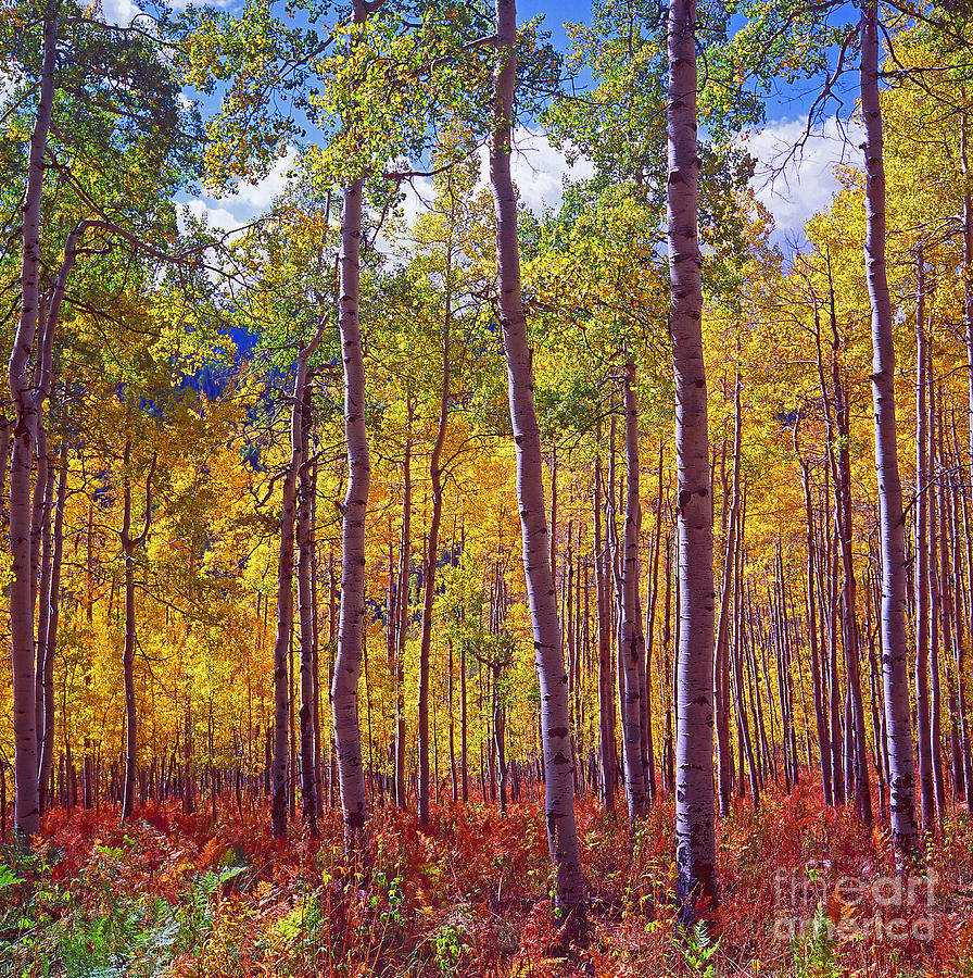 Golden Aspens Of Owl Creek Pass Photograph  - Golden Aspens Of Owl Creek Pass Fine Art Print