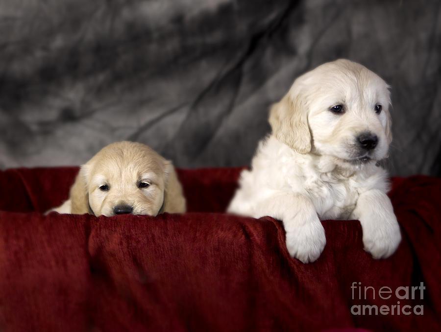 Dog Photograph - Golden Retriever Puppies by Angel  Tarantella