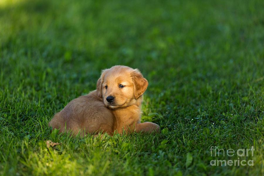 Golden Retriever Puppy Photograph