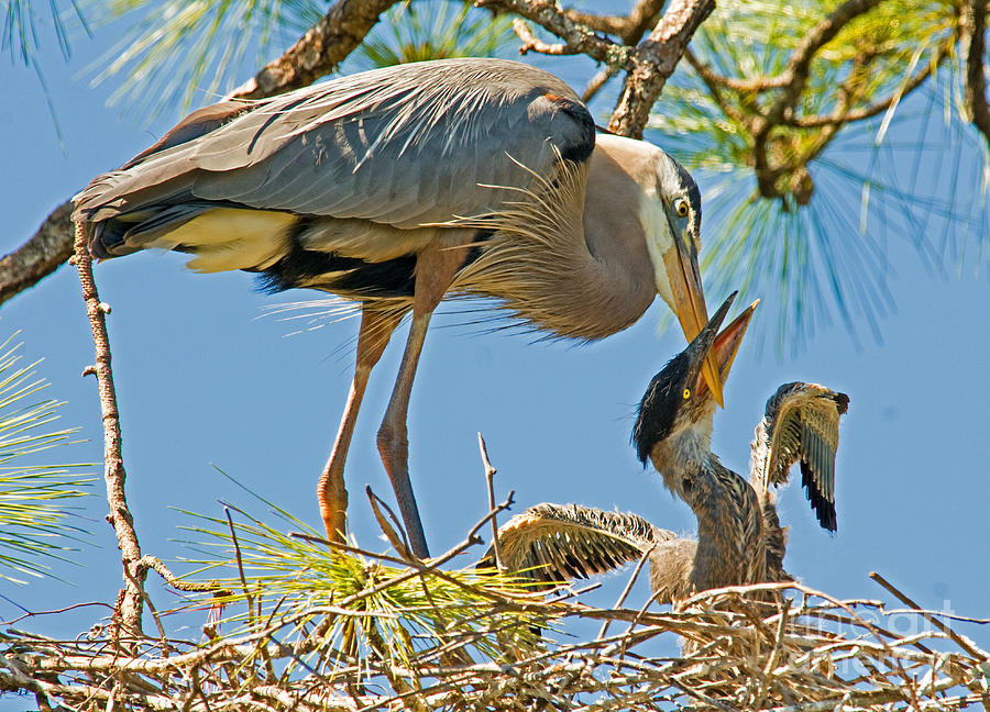 Nature Photograph - Great Blue Heron Adult Feeding Nestling by Millard H. Sharp