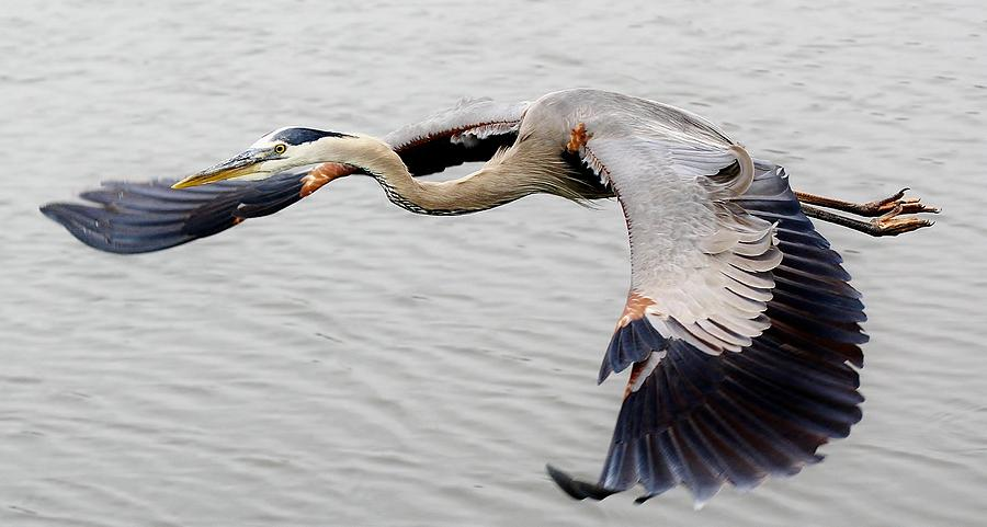 Great Blue Heron In Flight Photograph