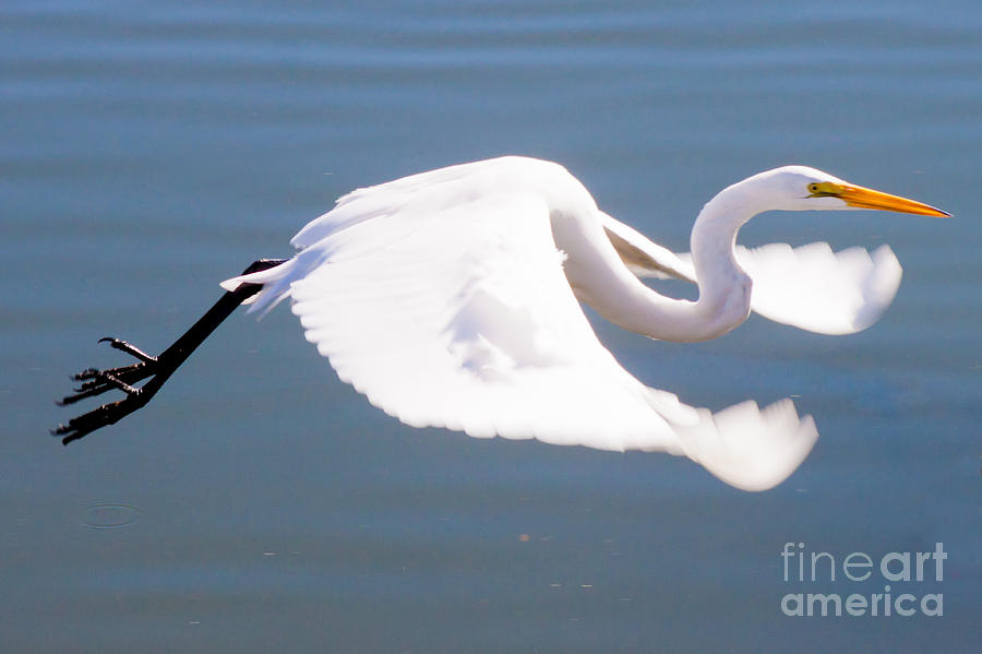 Great Egret Photograph - Great Egret In Flight by Thomas Marchessault