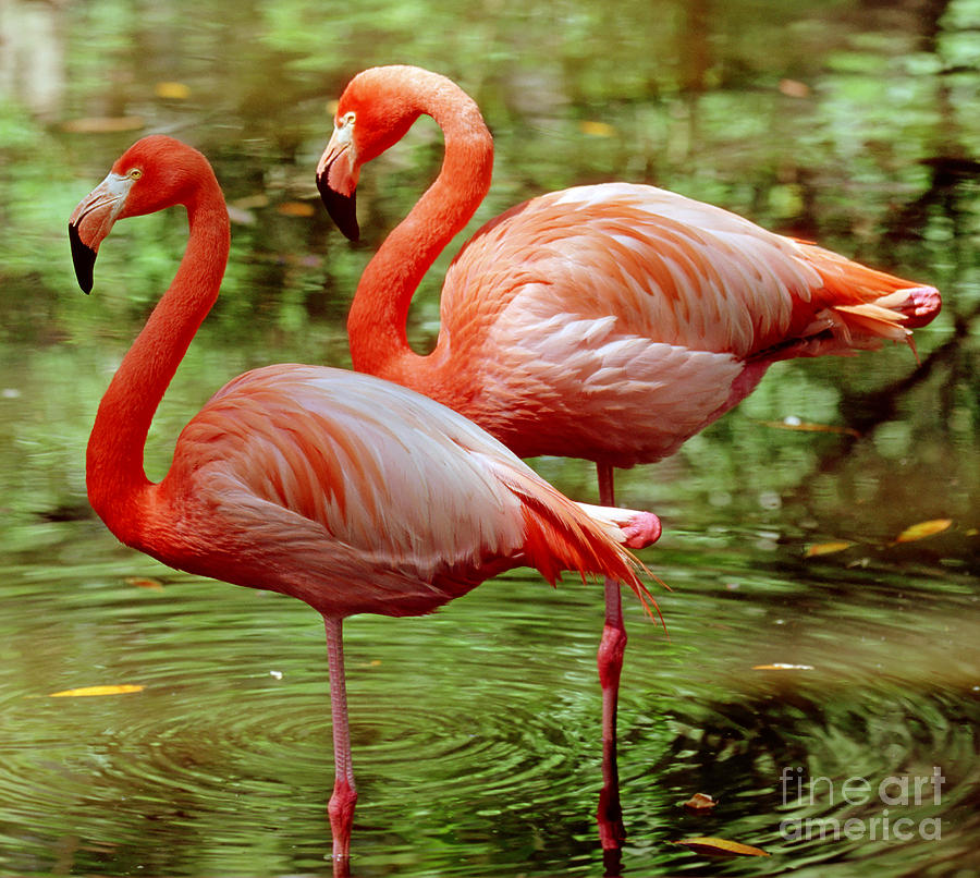 Greater Flamingoes  Photograph