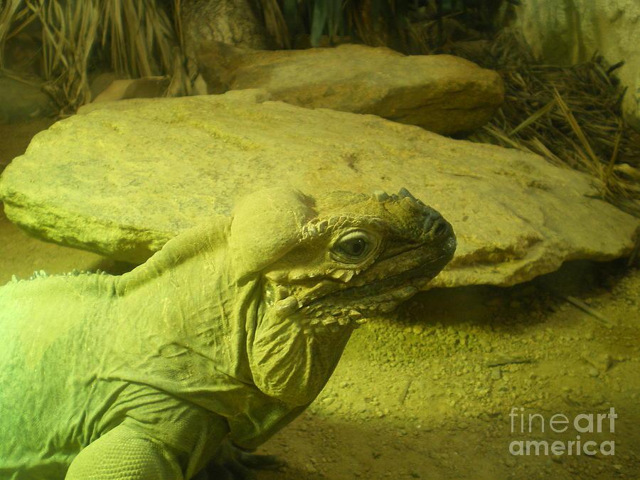 Green Iguana  Photograph