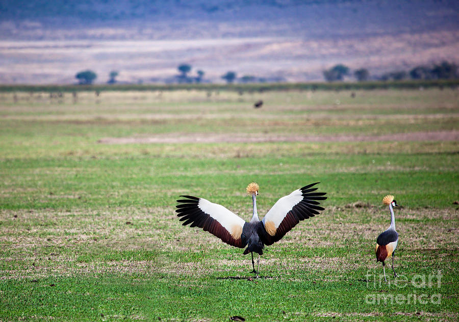 Crane Photograph - Grey Crowned Crane. The National Bird Of Uganda by Michal Bednarek