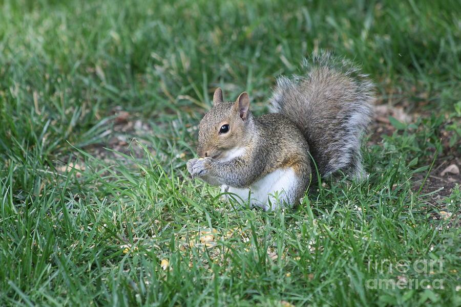 Grey Squirrel Photograph