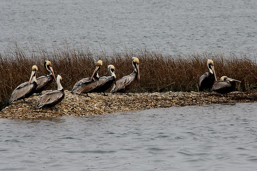 Group Of Pelicans Photograph
