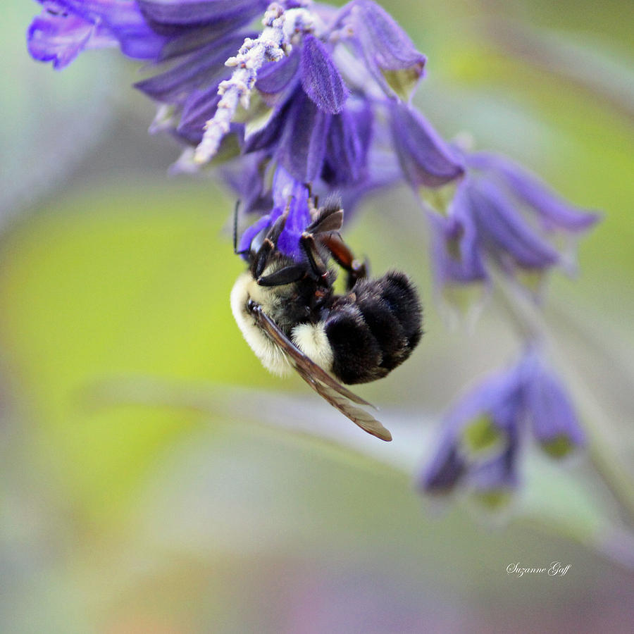 Bee Photograph - Hanging In There by Suzanne Gaff