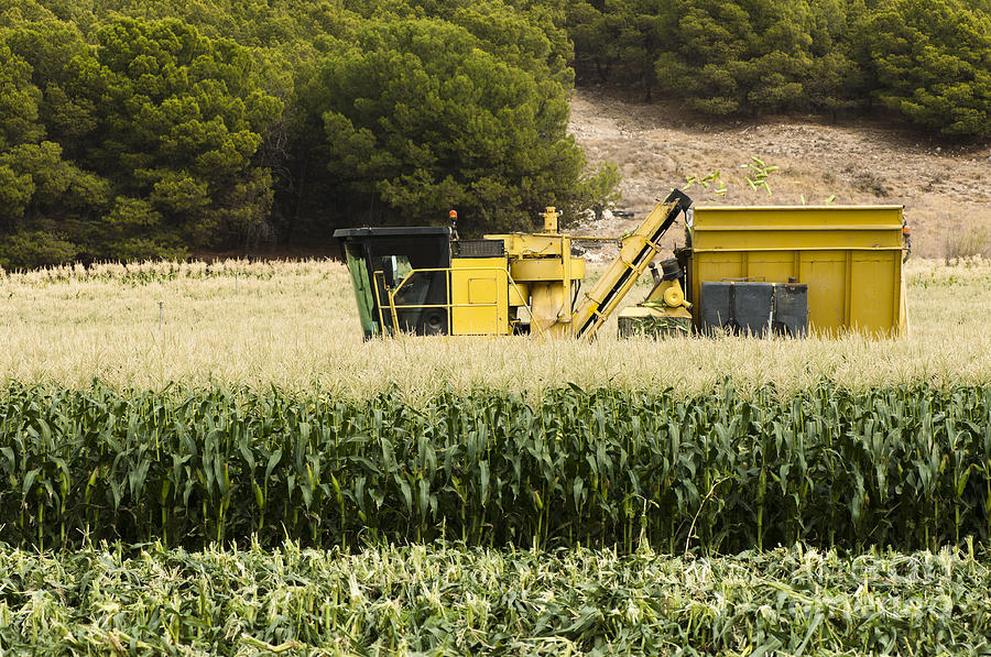 Harvester Reaps Corn Photograph