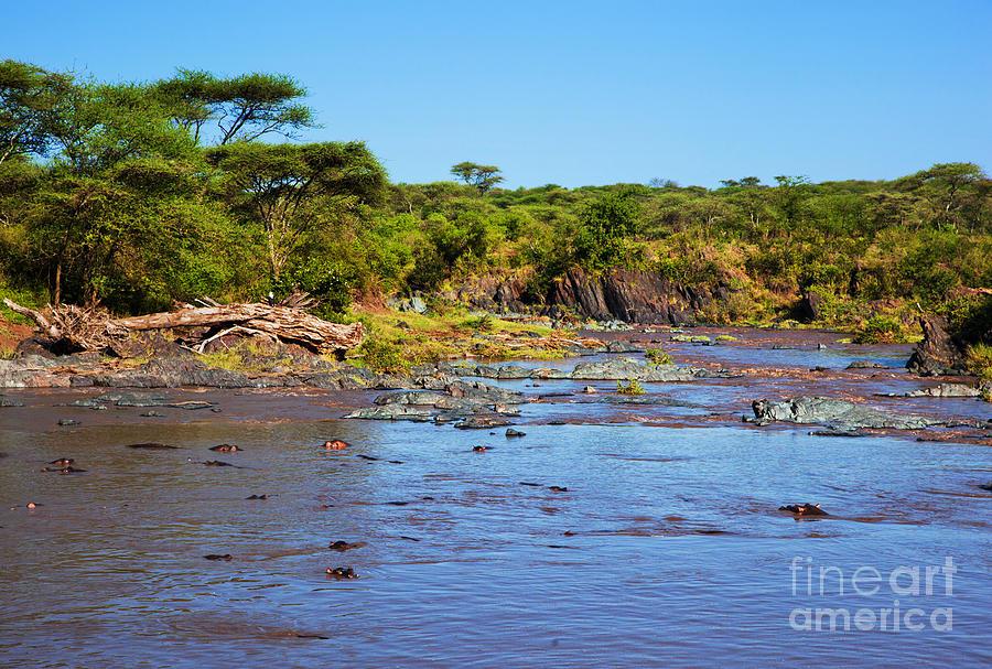 Hippopotamus In River. Serengeti. Tanzania. by Michal Bednarek