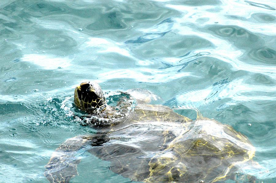 Honu A Hawaiian Green Sea Turtle Photograph  - Honu A Hawaiian Green Sea Turtle Fine Art Print