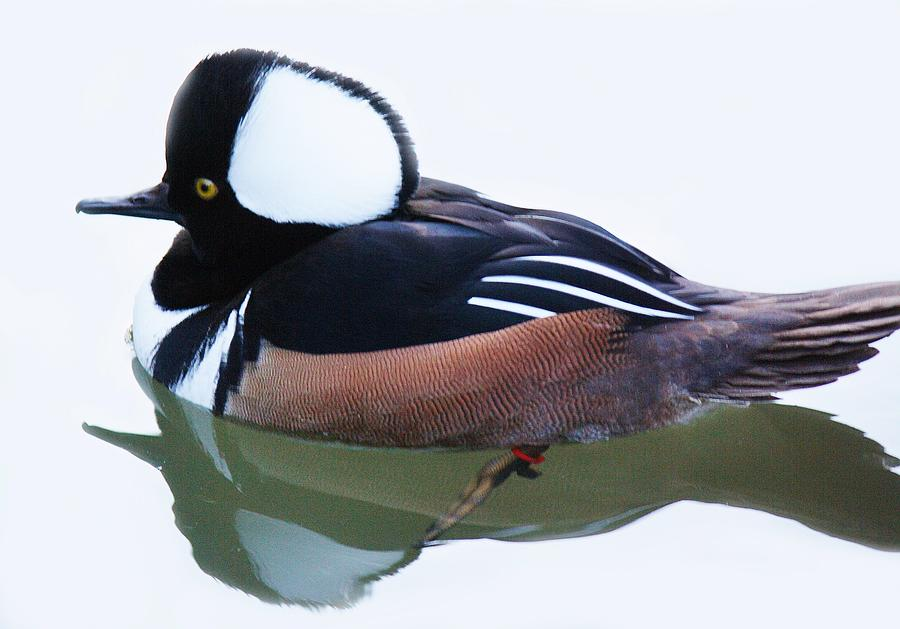 Hooded Merganser Photograph  - Hooded Merganser Fine Art Print