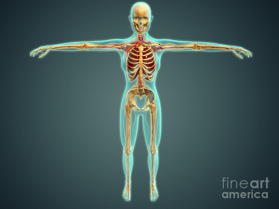 Human Body Showing Skeletal System Digital Art  - Human Body Showing Skeletal System Fine Art Print