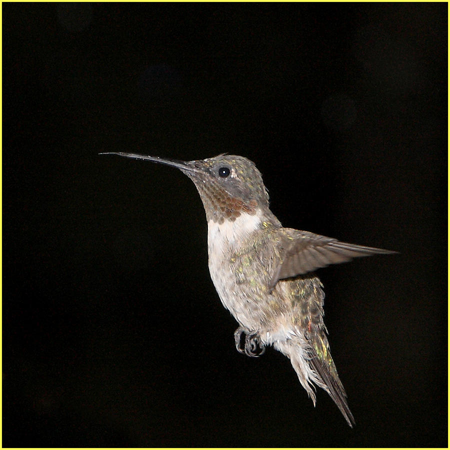 Humming Bird Photograph  - Humming Bird Fine Art Print