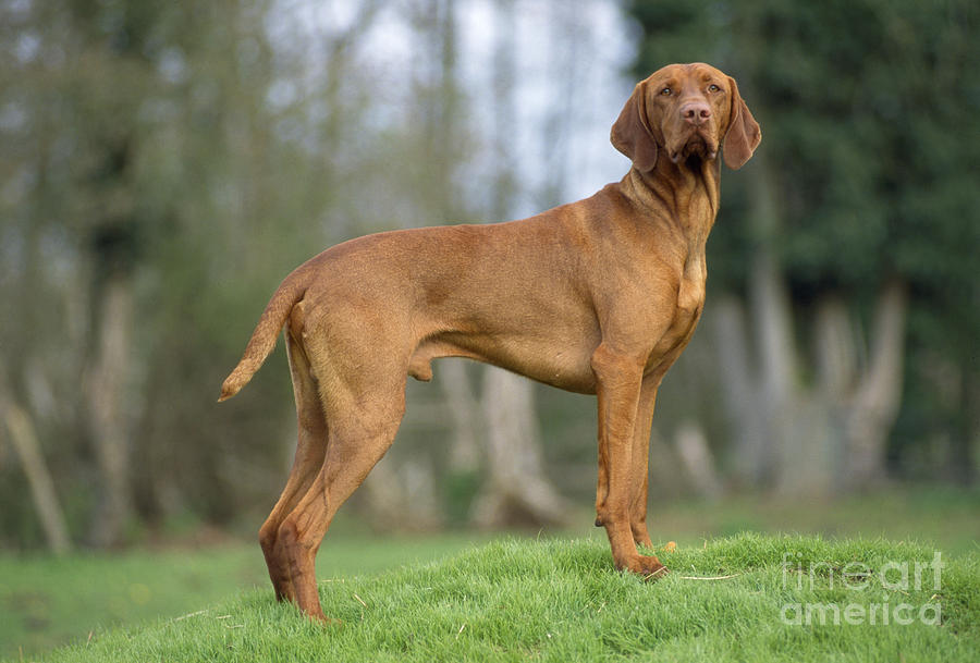 Hungarian Vizsla Dog Photograph