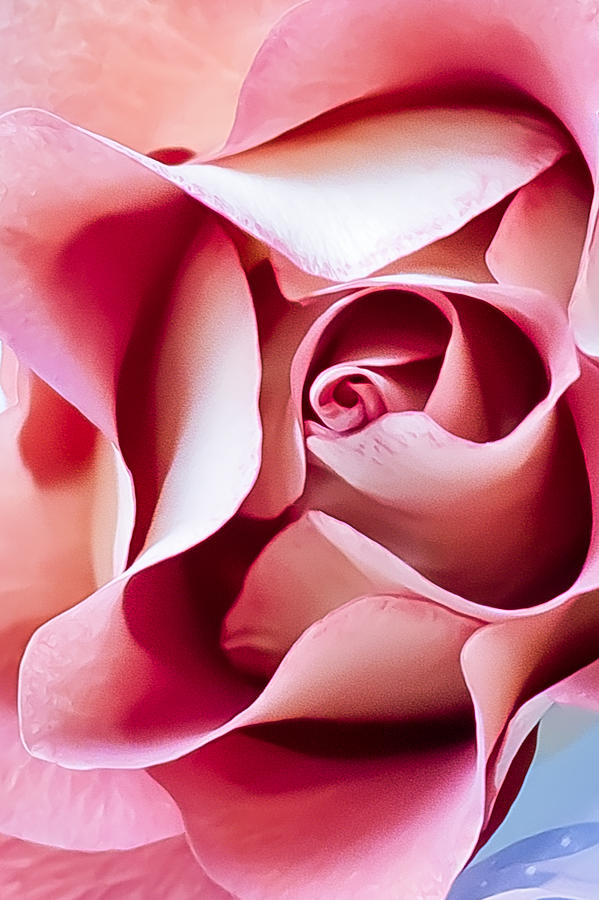 In Depths Of A Rose Photograph  - In Depths Of A Rose Fine Art Print