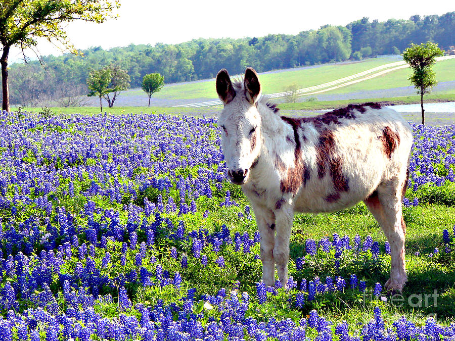 Jesus Donkey In Bluebonnets Photograph