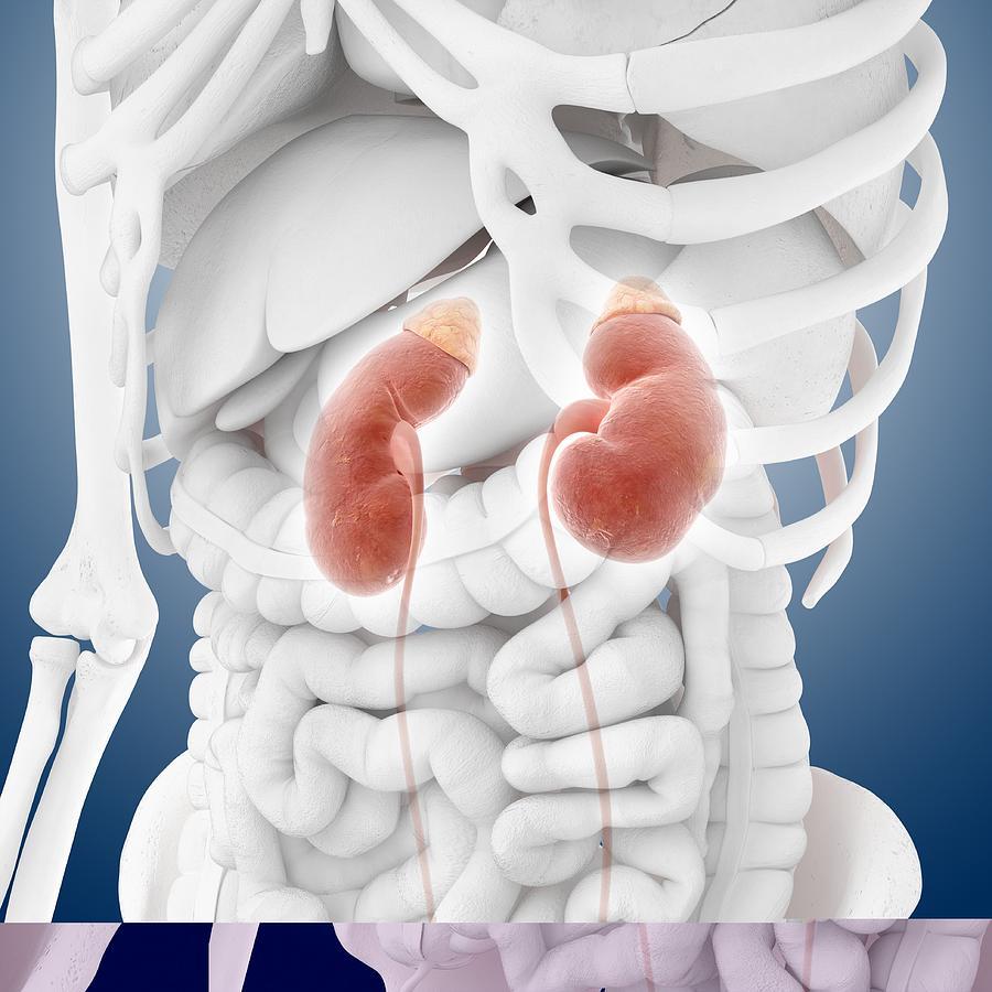 Kidneys And Ureters, Artwork Photograph