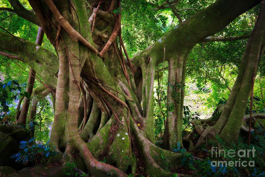 Kipahulu Banyan Tree Photograph