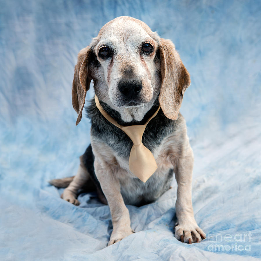 Kippy Beagle Senior And Best Dog Ever Photograph