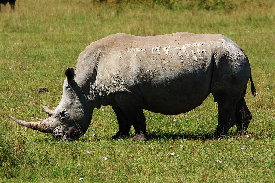 Lake Nakuru White Rhinoceros Photograph