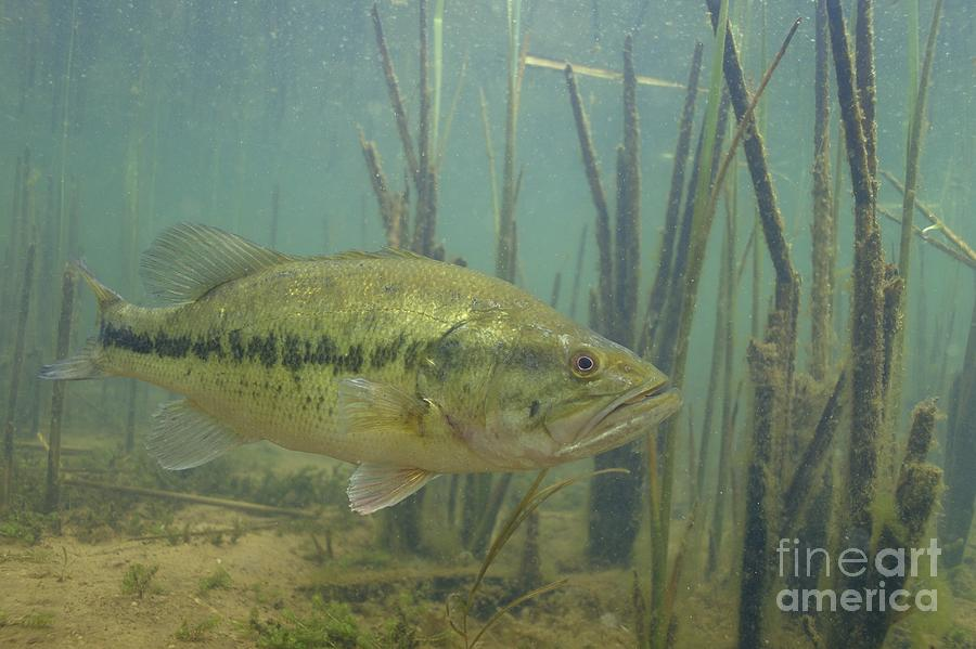 largemouth bass in the reeds photograph by engbretson