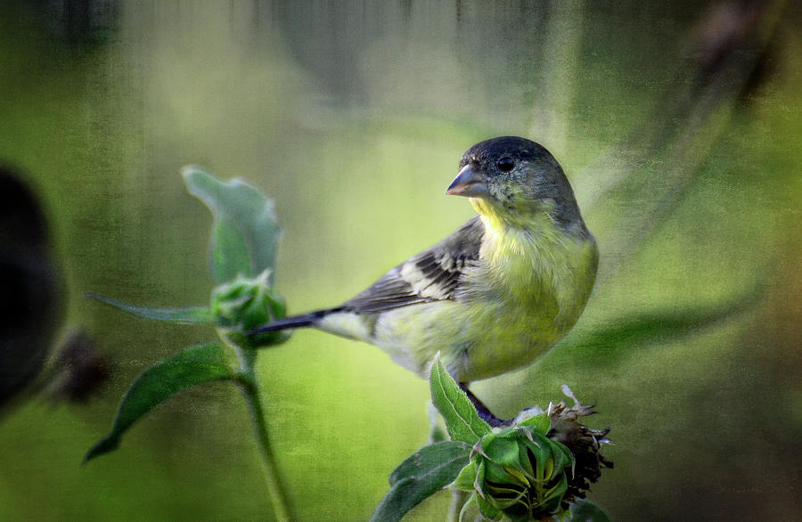 Lesser Goldfinch  Photograph  - Lesser Goldfinch  Fine Art Print