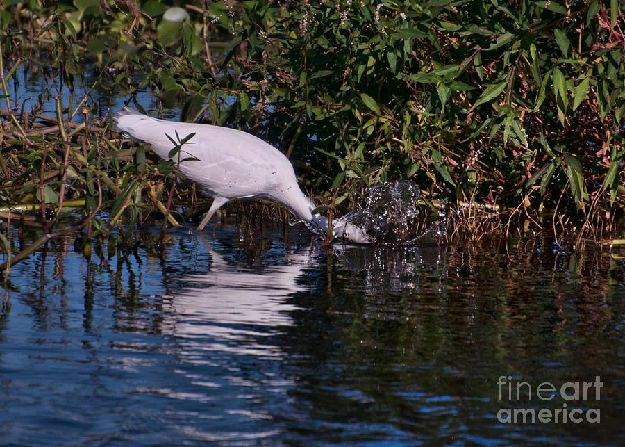 Juvenile Photograph - Little Blue Splash by Photos By  Cassandra