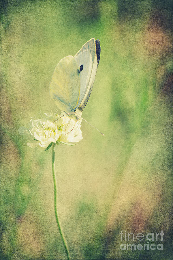 Little Butterfly Photograph  - Little Butterfly Fine Art Print
