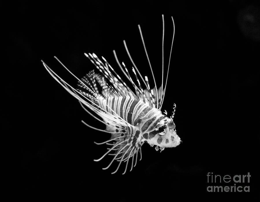 Little Lionfish Photograph  - Little Lionfish Fine Art Print