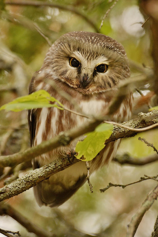 Little Owl Photograph  - Little Owl Fine Art Print