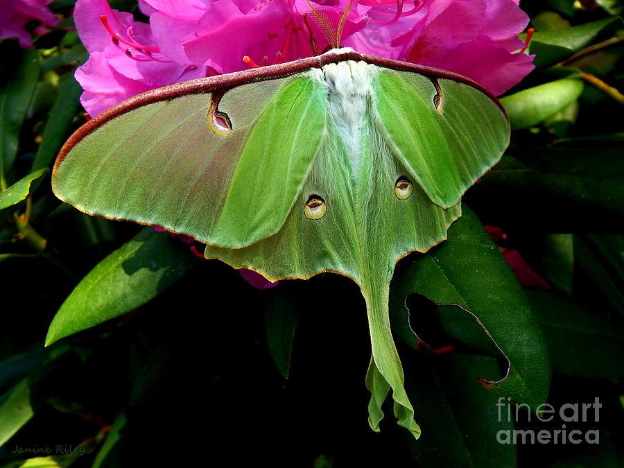 Luna Moth Photograph
