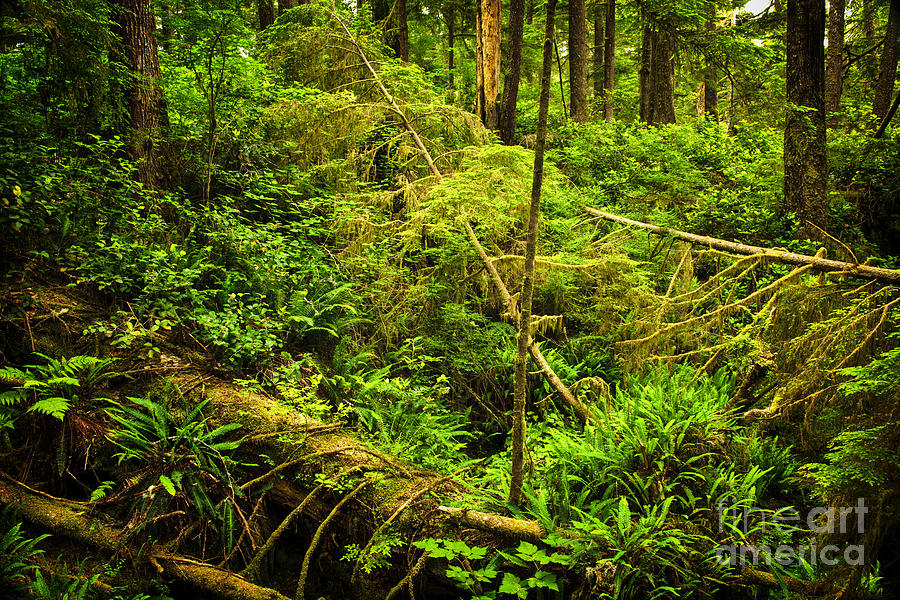 Lush Temperate Rainforest Photograph  - Lush Temperate Rainforest Fine Art Print