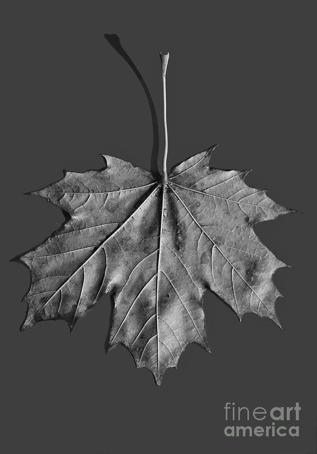 Maple Leaf Photograph  - Maple Leaf Fine Art Print