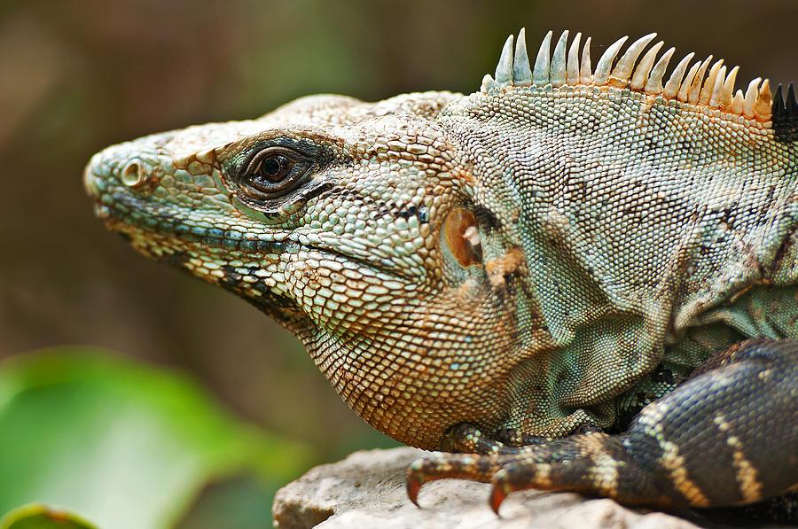 Mexican Iguana Pyrography
