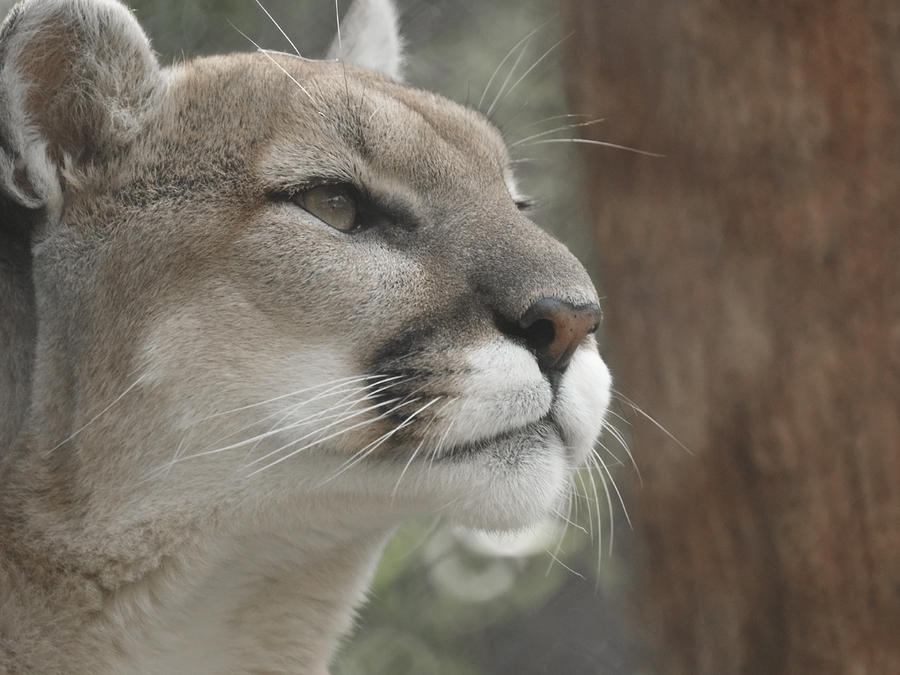 Mountain Lion Photograph - Mountain Lion by Ernie Echols