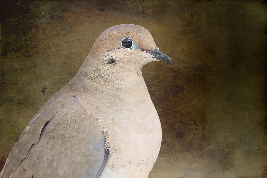 Mourning Dove Photograph  - Mourning Dove Fine Art Print