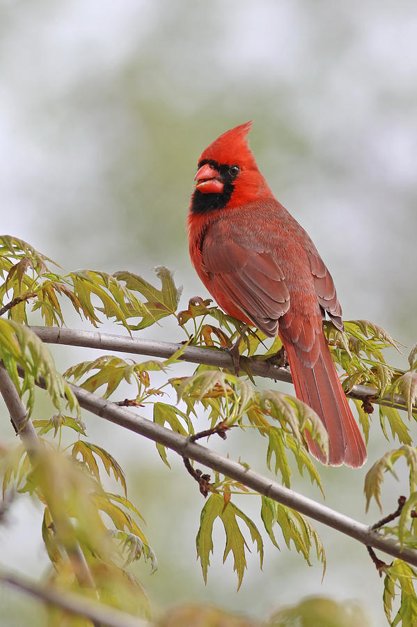 Northern Cardinal - Male Photograph  - Northern Cardinal - Male Fine Art Print