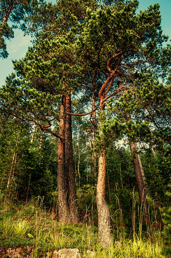 Island Photograph - Northern Forest  by Jenny Rainbow
