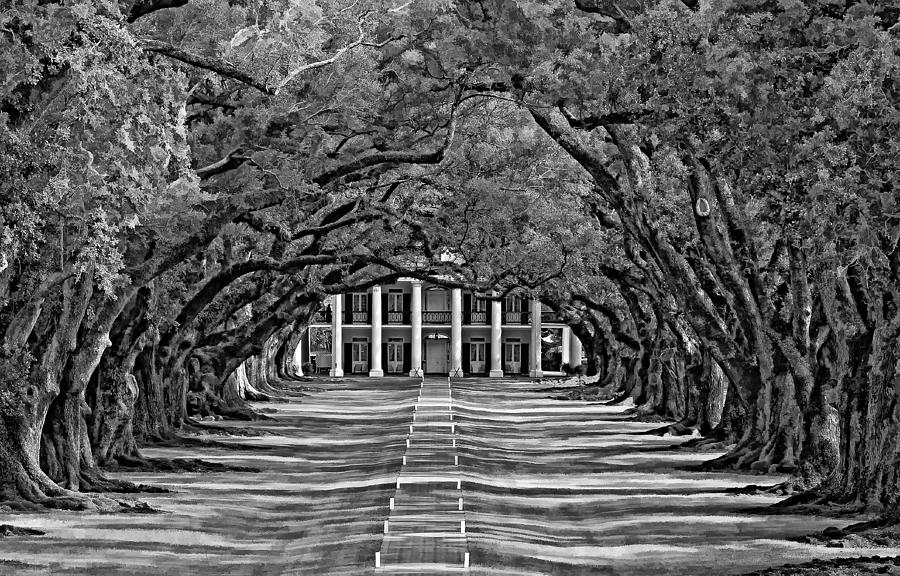 Oak Alley Bw Photograph
