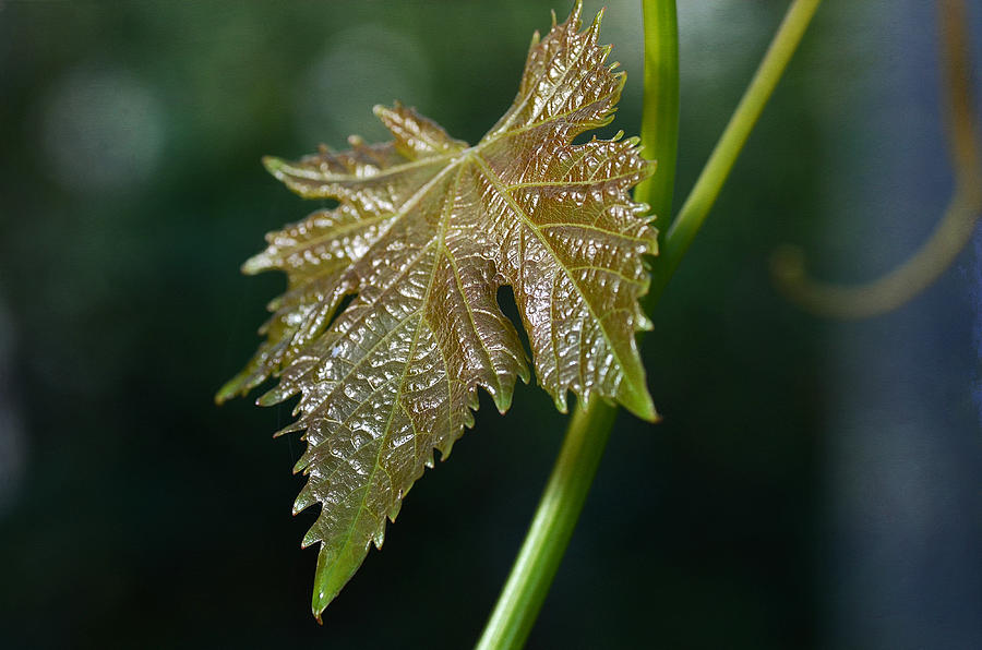 Grapevine Leaf Photograph - On My Own by Fraida Gutovich