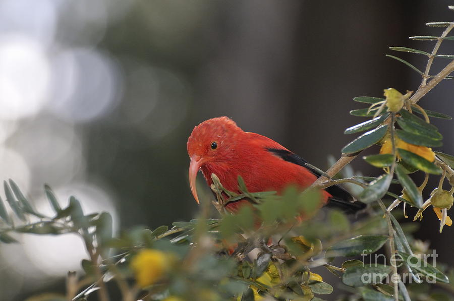 One iiwi Bird Extracting Nectar Photograph  - One iiwi Bird Extracting Nectar Fine Art Print